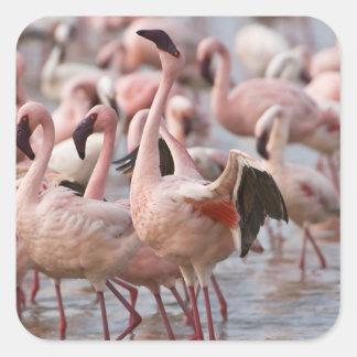 Kenya, Lake Nakuru National Park. Flamingos wade Square Sticker