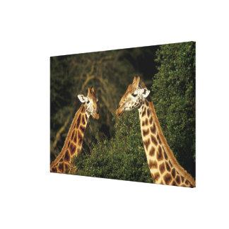 Kenya: Lake Nakuru National Park, Rothschild 2 Gallery Wrap Canvas