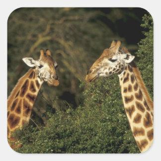 Kenya: Lake Nakuru National Park, Rothschild 2 Square Sticker
