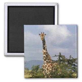 Kenya: Lewa Wildlife Conservancy, reticulated Magnet