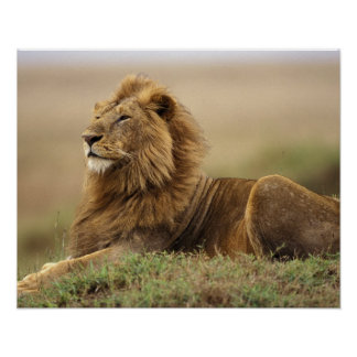 Kenya, Masai Mara. Adult male lion on termite Poster