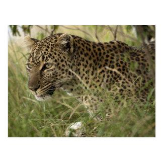 Kenya, Masai Mara Game Reserve. African Leopard 2 Postcard