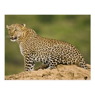 Kenya, Masai Mara Game Reserve. African Leopard Postcard