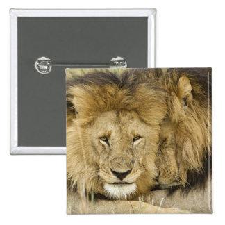Kenya, Masai Mara. Two lions resting face to Button