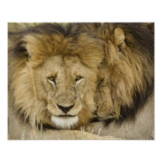 Kenya, Masai Mara. Two lions resting face to Posters
