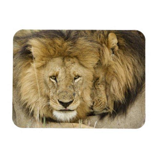 Kenya, Masai Mara. Two lions resting face to Flexible Magnets