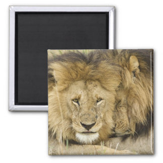 Kenya, Masai Mara. Two lions resting face to Square Magnet