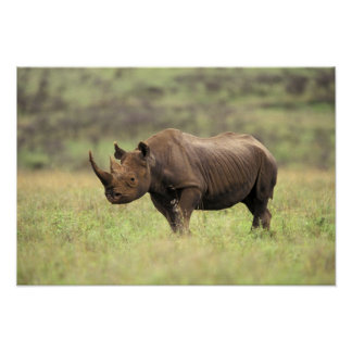 Kenya, Nairobi National Park. Black Rhinoceros Poster