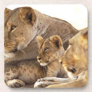 Kenya, Samburu National Game Reserve. Lion cub 2 Beverage Coasters