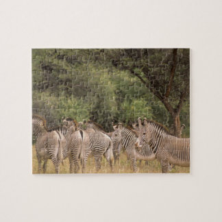 Kenya: Shaba National Reserve, herd of Grevy's Puzzles