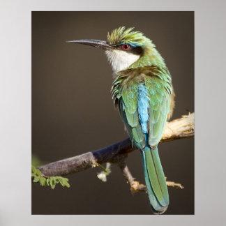 Kenya. Somali bee-eater bird on limb. Credit as: Poster