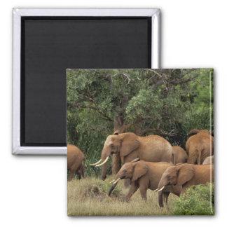 Kenya: Tsavo East National Park, herd African Magnet