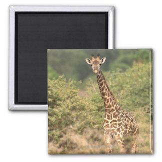 Kenyan giraffe magnet