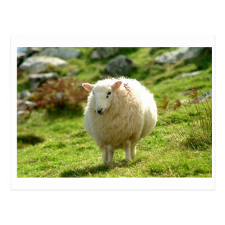 Kerry Sheep on Ring of Kerry Postcard