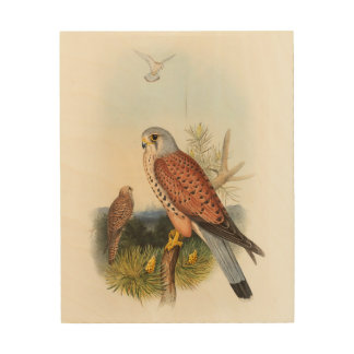 Kestrel Falcon John Gould Birds of Great Britain Wood Prints