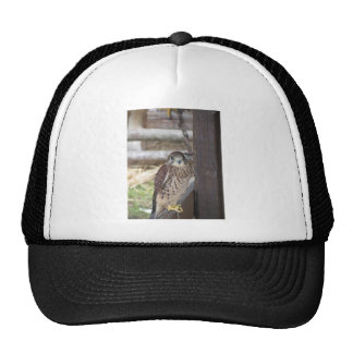 Kestrel perched on a fence post cap