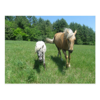 Khrysta, the Morgan horse, and Cash, the mini hors Postcard
