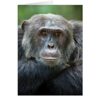 Kibale Chimpanzee Greeting Card - Male portrait