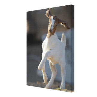 Kid goat playing in ground canvas prints