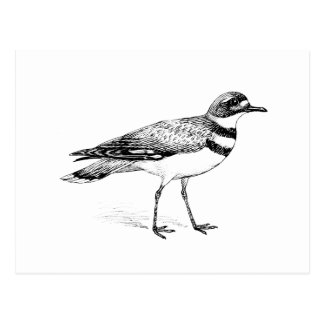 Killdeer Bird Sketch Postcard