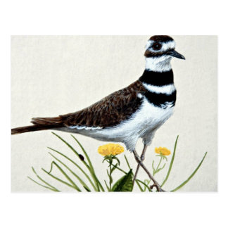 Killdeer Postcard
