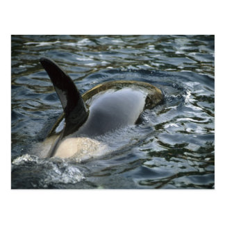 Killer Whale, Orca, Orcinus orca), adult Postcard