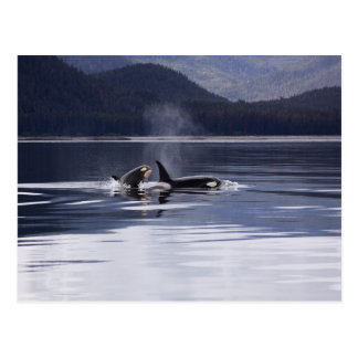 Killer Whales Postcard
