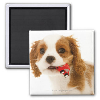 King Charles Spaniel with red car in her mouth. Square Magnet