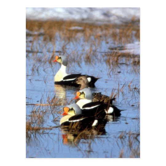 King Eider ducks Postcard