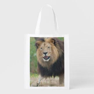 King of the Beasts Fierce African Lion walking