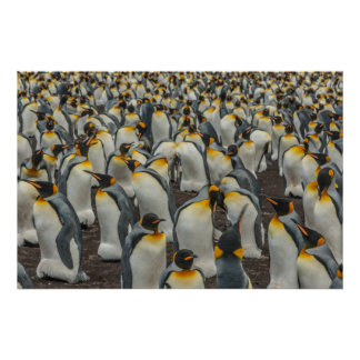 King penguin colony, Falklands Poster