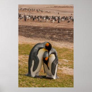 King penguins caressing, Falkland Poster
