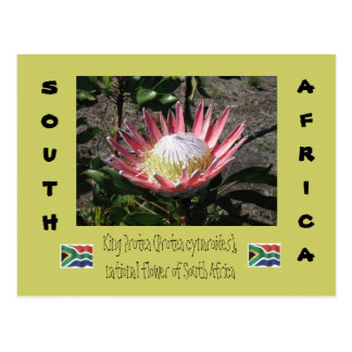 King Protea Postcard