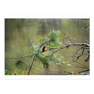 KINGFISHER EUNGELLA NATIONAL PARK AUSTRALIA POSTCARD