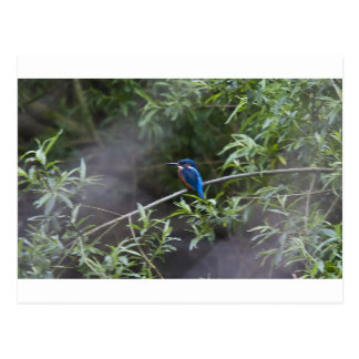 kingfisher.jpg postcard