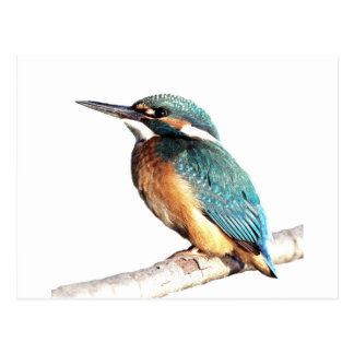 """Kingfisher"" Postcard"