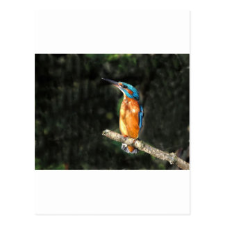 Kingfisher Postcard