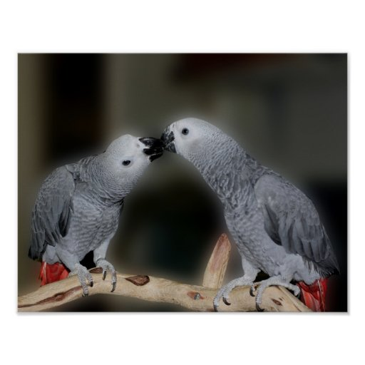 Kissing African Grey Parrots Cute Bird Poster