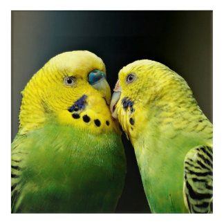 Kissing Budgie Acrylic Wall Art