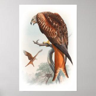 Kite Glead Hawk John Gould Birds of Great Britain Poster
