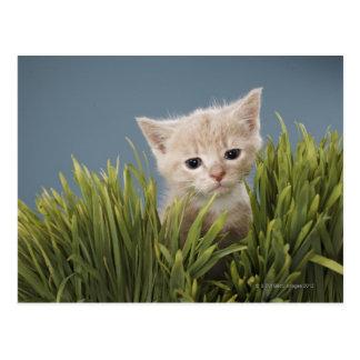 Kitten in grass postcard