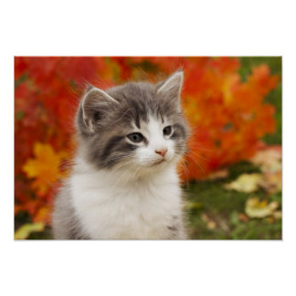 Kitten In The Fall Poster