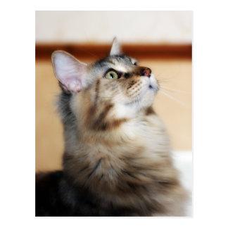 Kitten Post Card - Maine Coon Cat