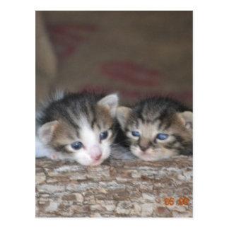 Kitten siblings postcard