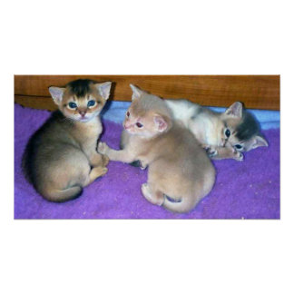 Kittens 3-weeks old Abyssinians Poster