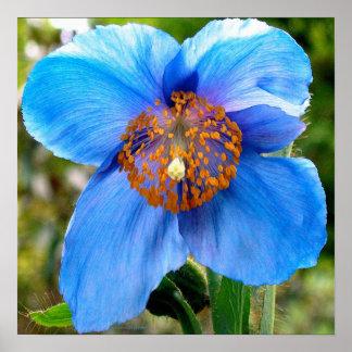 KIW Sparks Blue Poppy Posters