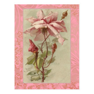 Klein Old Pink Rose & Buds Postcard