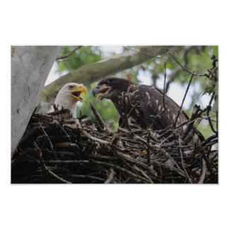 KMCphoto Bald Eagle Mom and Big Baby Poster