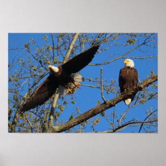 KMCphoto Bald Eagle Parents Poster