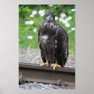 KMCphoto Juvenile Bald Eagle Resting on RR tracks Poster